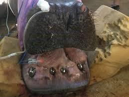 Conheça o 1º hipopótamo brasileiro a usar prótese dentária